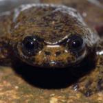Descrita la primera especie de rana sin pulmones