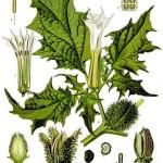 El Estramonio (Datura stramonium)