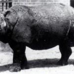 Desaparece una subespecie del rinoceronte de Java