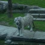 Si uno no entra en la guarida del tigre…