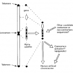 HACs – Human Artificial Chromosomes (I)