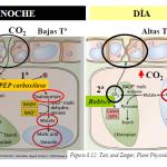 Metabolismo acido de la crasuláceas, Plantas CAM.