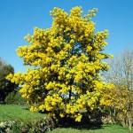 La invasión de Europa: La acacia de hoja azul