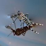 Mosquito tigre, globalización y enfermedades tropicales