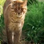 El pelaje del gato dorado