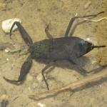 El escorpión de agua, el asesino ninja del shindake.