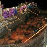 La invasión de las medusas gigantes