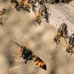 Una nueva amenaza para la apicultura