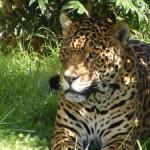 Una casa para el jaguar en EEUU