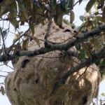 La avispa asiática se hace fuerte en España
