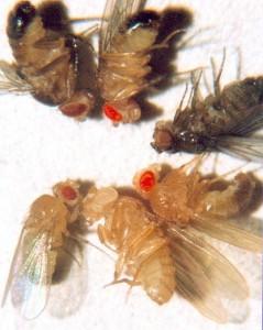 Distintas Drosophila melanogaster. El genoma de una especie sería como las piezas de un mecano con las que jugaría la evolución. Estas piezas contienen las instrucciones para hacer una mosca.