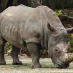 ¿Se extingue el Rinoceronte Negro Occidental?