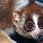 El único primate venenoso del mundo ya no esta solo.