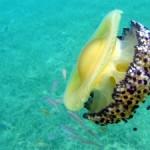 Un futuro gelatinoso, claves del éxito evolutivo de las medusas