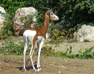Ejemplar de gacela dama (Nanger dama, antiguamente denominada como Gazella dama)