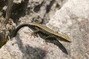 Ejemplar de lagartija de Valverde (Algyroides marchi)