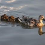Cómo convertirse en mamá pato