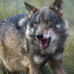 ¿Por qué desaparece el lobo?