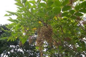 Árbol de la laca, Toxicodendron vernicifluum.