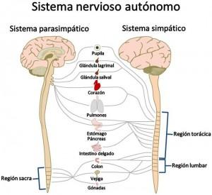 Esquema del Sistema Nervioso Autónomo, tanto del simpático como del parasimpático. Adjunto aparecen diferentes zonas corporales y a qué nivel del SNA bien parasimpático, bien simpático se encuentran reguladas.