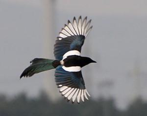 """Imagen de una urraca (Pica pica), ave por la que recibe su nombre este peculiar """"trastorno  dietético""""."""