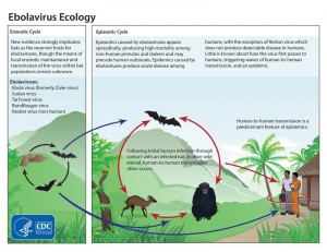 Ciclo ecológico del virus ébola. Fuente: Center for Disease Control and Prevention (CDC). USA