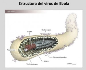 Estructura del virus Ébola. Fuente: Feldmann H. N Engl J Med 2014;371:1375-1378
