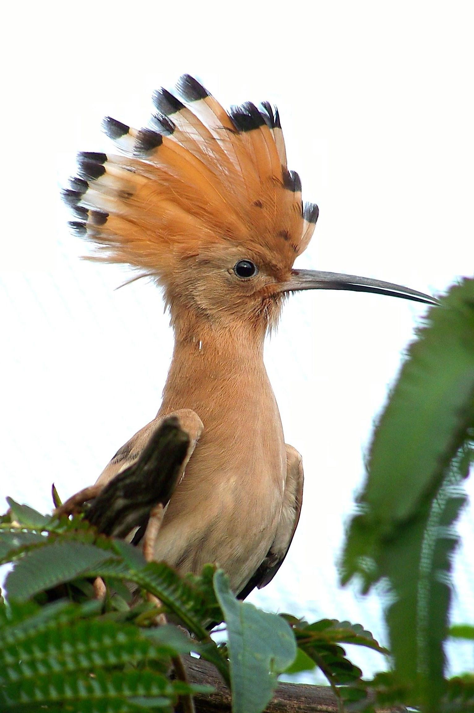 Foto wikipedia de Upupa epops.