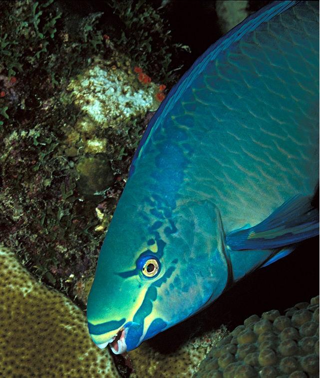 Ejemplar de pez loro de la especie Scarus vetula.