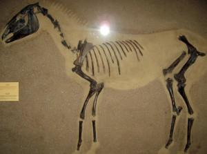 Fósil de tarpán que puede visitarse en el Museo Zoológico de Copenhague. Fue descubierto cerca de la localidad de Odense, perteneciente a la isla de Fionia. El fósil tiene una antigüedad estimada de 9.100 años.