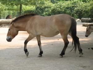 El caballo de Przewalski o caballo salvaje mongol es la única subespecie de caballo salvaje que se conoce hasta la fecha. A diferencia de los mustangs norteamericanos no se han asilvestrado a partir de ejemplares domésticos. Su estado actual es de amenaza (EN según la UICN), estimándose una población mundial de 1000 ejemplares.