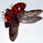 Mariquita: El superdepredador Coccinellidae