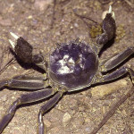 Crustáceos invasores en España: Braquiuros
