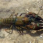 Crustáceos invasores en España: Astacídeos
