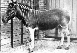 Única fotografía tomada de una quagga. Zoológico de Londres. Esta fotografía, realizada en 1870, pertenece a la Biodiversity Heritage Library.