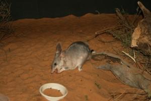 Bilby. Ejemplar del Zoo Monarto (Australia). Obsérvese su parecido morfológico con el bandicoot de pie de cerdo.