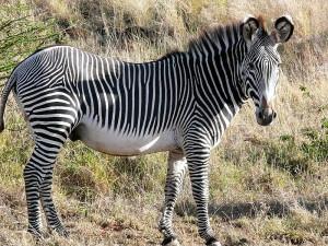 Cebra de Grevy (Equus grevyi) en Kenya. La IUCN la cataloga como especie en peligro de extinción (EN)