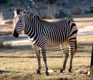 Cebra de montaña (Equus zebra). La UICN considera que está amenazada, otorgándole la calificación de vulnerable (VU)