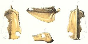 Detalles del esternón y los huesos mandibulares extraídos de la cotorra de Rodrigues por Newton