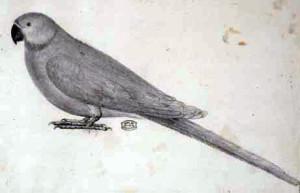 Cotorra de Newton (Psittacula exsul)