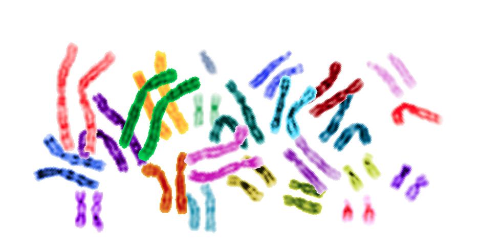 Cariotipo humano, donde se encuentra el Cromosoma 7