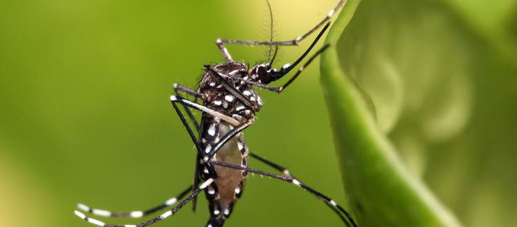 Mosquito de la especie Aedes aegypti