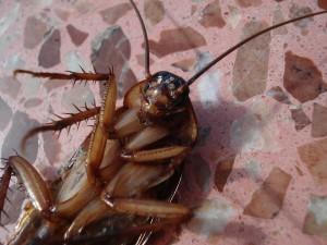 ¿Por qué las cucarachas siempre mueren panza arriba?
