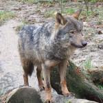 Estafando con lobos