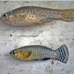 El salinete, un pez en peligro de extinción