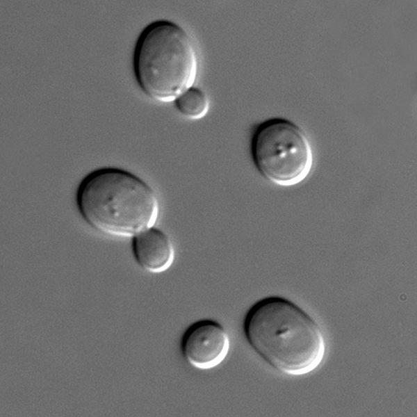 Células de Sacharomyces cerevisiae por microscopía de interferencia diferencial por contraste (DIC), se aprecian dos células realizando reproducción asexual por gemación por Masur