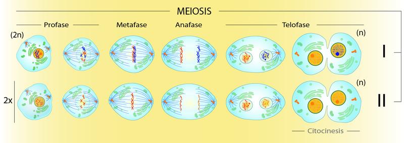 Reproducción sexual - Proceso de la Meiosis - Imagen por Xtabay (Wikipedia)