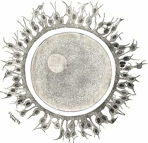 Óvulo rodeado de espermatozoides (wikipedia)