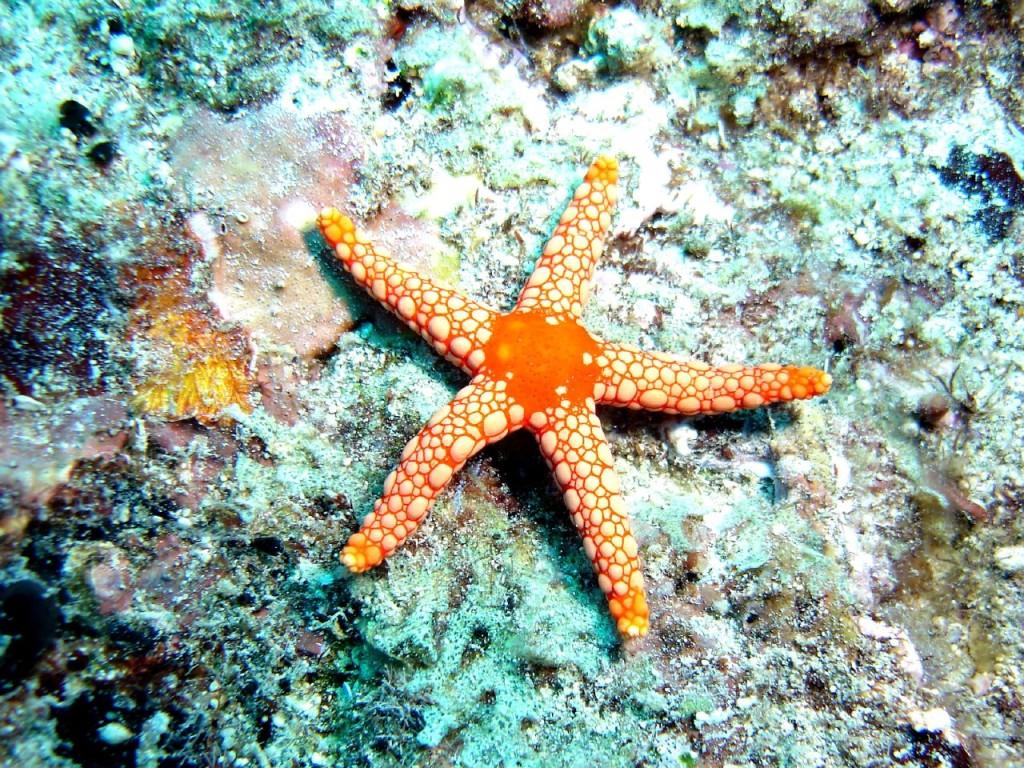 Las estrellas de mar pueden realizar reproducción asexual por fragmentación