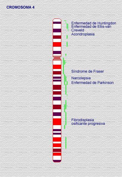 Imagen del cromosoma 04